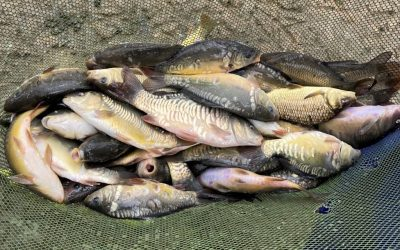 400 Carp Stocked Into Lane Fox Pond